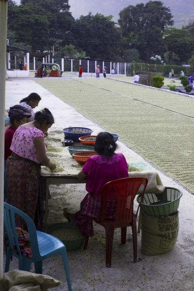 Ladies Sorting Coffee Beans