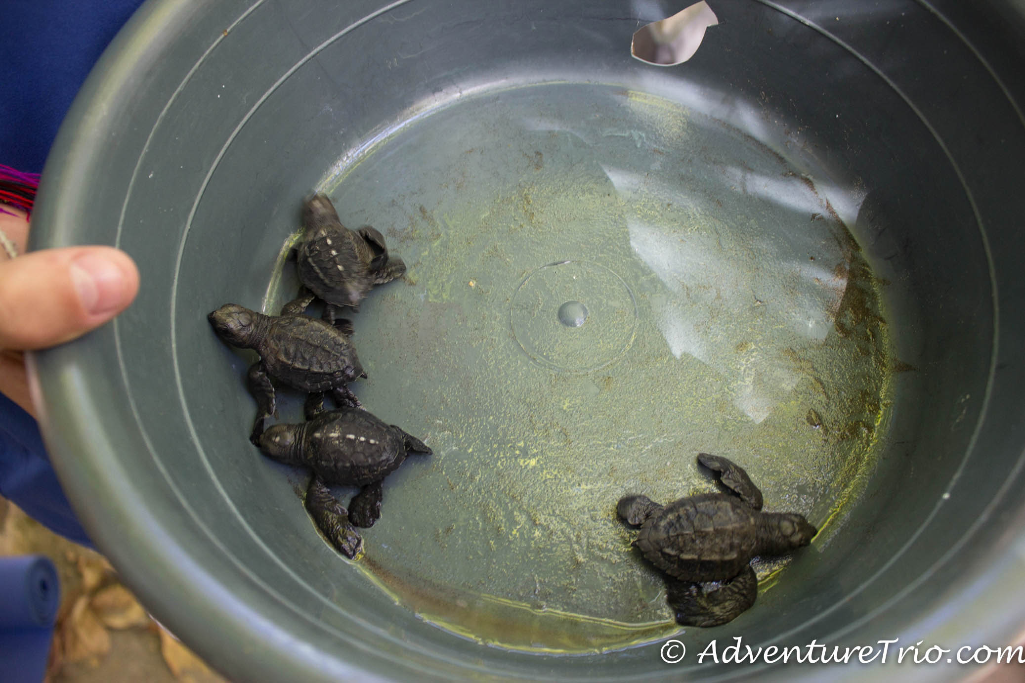 Bowl of Baby Turtles